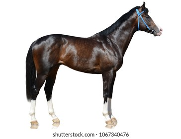 The brown sport horse standing isolated on white background. side view