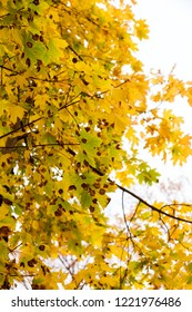 Brown Spots on leaves, round or irregular in shape with a dark edge. Fungal diseases of trees. Beautiful bright colors of autumn. Sunny autumn day.