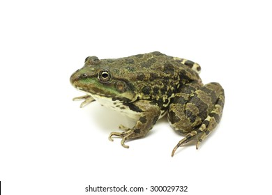 brown spotted frog on white background