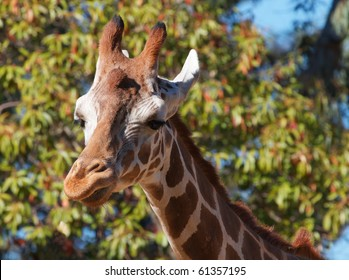 Brown spotted griraffe head looking to left and soft focus forest of trees