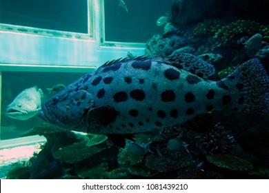 Brown spotted grouper, Estuary grouper, Malabar grouper, Greasy cod, Spotted river cod, Estuary rock cod