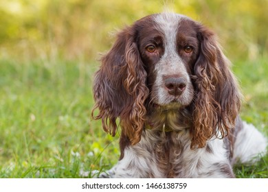 Brown spotted russian spaniel in the forest, soft focus background