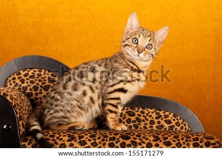 Brown Spotted Tabby Bengal Kitten Sitting Stockfoto Jetzt