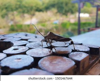 A Brown Squash Bug on a Wooden Table (Coreidae)