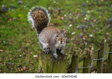 Brown squirrel around the Holland Park in London crossing the road or climbing on the threes