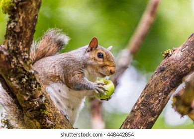 Brown squirrel chews apples sitting in a tree