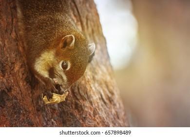 Brown squirrel eating nut