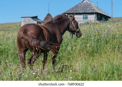 A brown stallion is grazing off fresh green grass in a small mountain village. It is on a chain to prevent from running away. It is a labour force for local farmers.