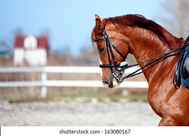 Brown stallion. Portrait of a sports red horse. Riding on a horse. Thoroughbred horse. Beautiful horse.