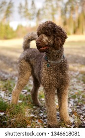Brown standard poodle standing in a forest in autumn.