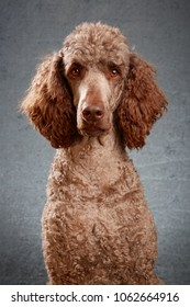 Brown standard poodle in studio with grey background