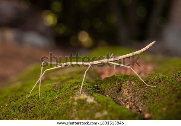 Brown stick insect (Diapheromera femorata) on a green moss: perfect example of camouflage