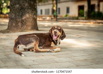 Brown stray dog lying on the street in Tirana Albania looking at camere. Selective focus.