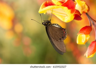 brown swallowtail butterfly with red dots sitting on vivid orchid flower in tropical garden