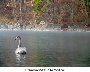 Brown swan in misty lake near Hohenschwangau, Germany.
