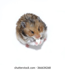 Brown Syrian hamster eating pumpkin seeds isolated on white background