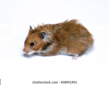 Brown Syrian hamster isolated on white background