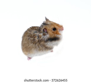Brown Syrian hamster stands on his hind paws with filled cheeks isolated on a white background