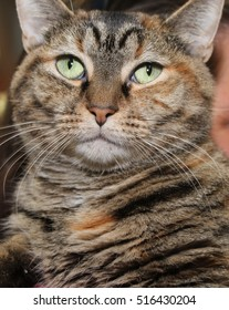 BROWN TABBY CAT