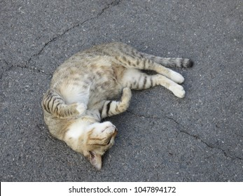 Brown Tabby Cat with coat featuring distinctive stripes and usually together with a mark resembling an 'M' on its forehead