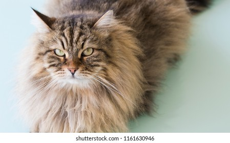 Brown tabby cat with long hair lying on a glass table. Purebred Siberian pet of livestock