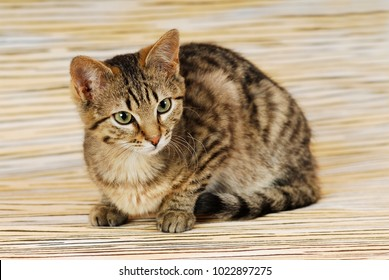Brown tabby cat on mackerel background