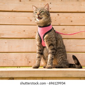 Brown tabby cat in a pink harness and leash, sitting on a wooden bench meowing