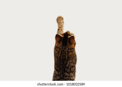 Brown tabby cat reaching a paw upwards against a blank white wall