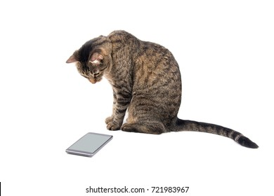 Brown tabby cat staring keenly at a smart phone, on white