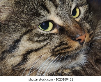 brown tabby cat with yellow eyes close-up