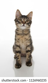 Brown Tabby Kitten on White Background