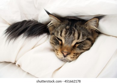 Brown Tabby Maine Coon cat who is feeling sick, ill, tired, cold or could be dying is hiding in between 2 layers of duvet on the bed.