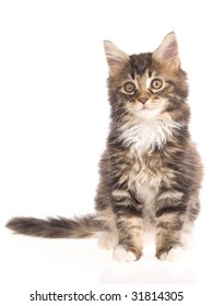 Brown tabby Maine Coon kitten on white background