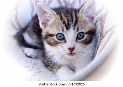 BROWN TABBY AND WHITE KITTEN