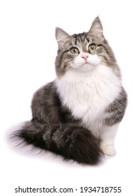 Brown tabby and white Siberian Cat isolated on a white background