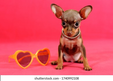 Brown and tan short-haired Russkiy toy (Russian toy terrier) puppy with yellow sunglasses on a pink background.