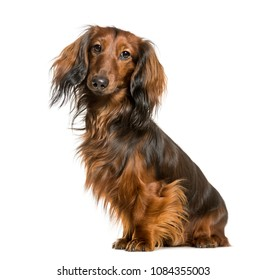 Brown teckel dog isolated on white