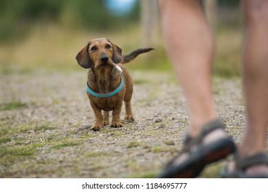 Brown teckel looking to his owner