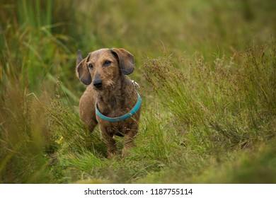 Brown teckel in nature background
