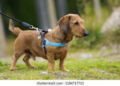 Brown teckel on a leash