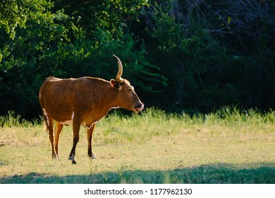 Brown Texas Longhorn heifer on rural farm in summer for rustic animal portrait.