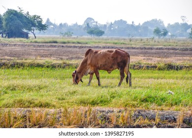 Brown Thai Cow eating green grass in the middle of the rice fields in rural Thailand, Dry rice fields after harvesting rice in summer season