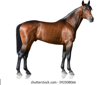 The brown thoroughbred stallion standing isolated on white background side view