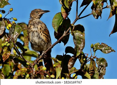 The brown thrasher is abundant throughout the eastern and central United States and southern and central Canada, and it is the only thrasher to live primarily east of the Rockies and central Texas.