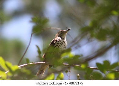 Brown thrasher in crepe myrtle tree