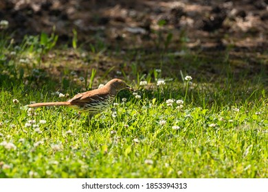 A Brown Thrasher dining on an insect meal
