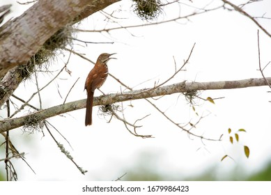 Brown thrasher mocking bird on tree