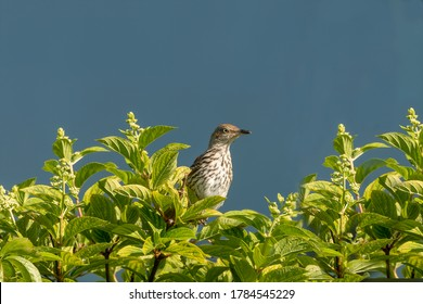 The brown thrasher on a bush. The brown thrasher is noted for  largest song repertoire of birds,over 1000 song types.