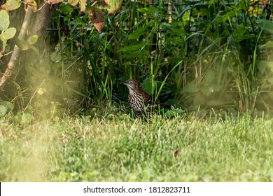 The brown thrasher on a garden. The brown thrasher is noted for  largest song repertoire of birds,over 1000 song types.