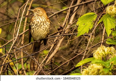 A Brown Thrasher Perched in a Dense Thicket